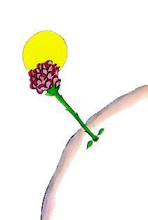 گلِ سرخ